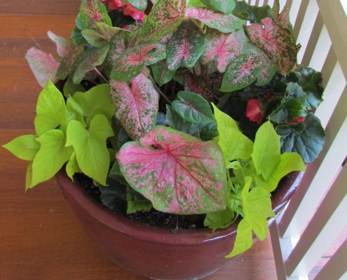 Caladiums and solenia begonias provide color in shady locations