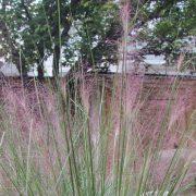 Mulhy Grass